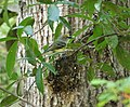 White-eyed Vireo. Vireo griseus , on nest (26616526949).jpg