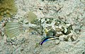 White-spotted puffer is being cleaned by Hawaiian cleaner wrasse1.jpg