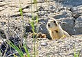 White-tailed prairie dog on Seedskadee National Wildlife Refuge 02 (14617135225).jpg