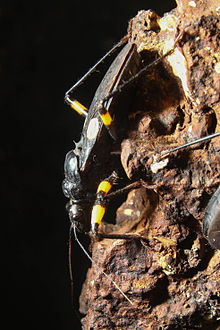 White Eyed Assassin Bug2.jpg