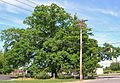 White Oak Tree, Monroe, NJ - May 27, 2013.jpg