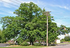 Monroe Township, Middlesex County, New Jersey - Monroe Oak