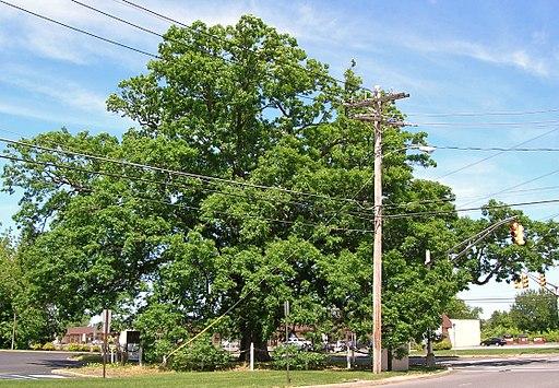 White Oak Tree, Monroe, NJ - May 27, 2013