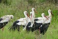 White Storks (Ciconia ciconia) (17328305362).jpg