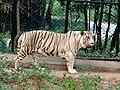 White Tiger-Bannerghatta National Park.jpg