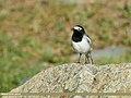 White Wagtail (Motacilla alba) (34779273770).jpg