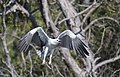 White bellied sea eagle 11 (14987626782).jpg