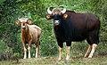 White bison by N A Nazeer.jpg
