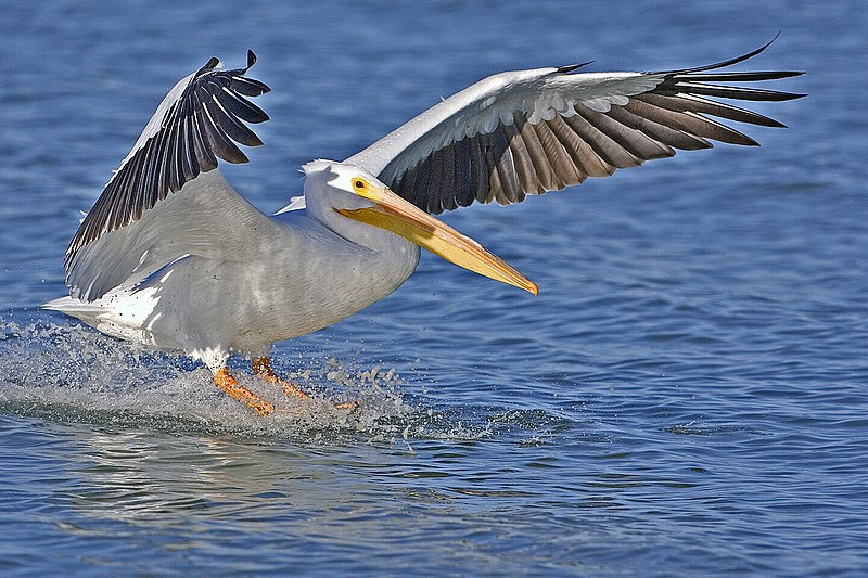 File:White pelican - natures pics.jpg