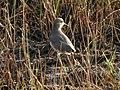 White tailed lapwing 3.jpg