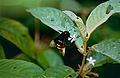 Wild Bee (Eulaema bombiformis) (10460523566).jpg