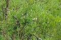 Wild Jasmine (Jasminum sp.) (15832915334).jpg