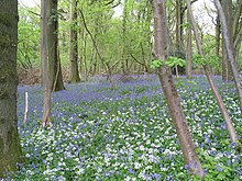 Wild garlic and bluebells in Highbury Wood - geograph.org.uk - 167357.jpg