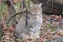 Wildkatze (Felis silvestris silvestris) im Tierpark Lange Erlen, 2016-12-03.jpg