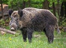 Wildschwein, Nähe Pulverstampftor (cropped).jpg