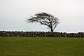 Windswept tree in Ireland.jpg