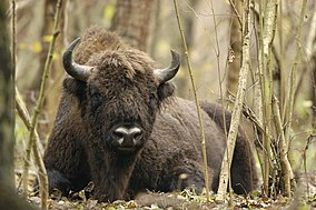 Wisent in natural habitat