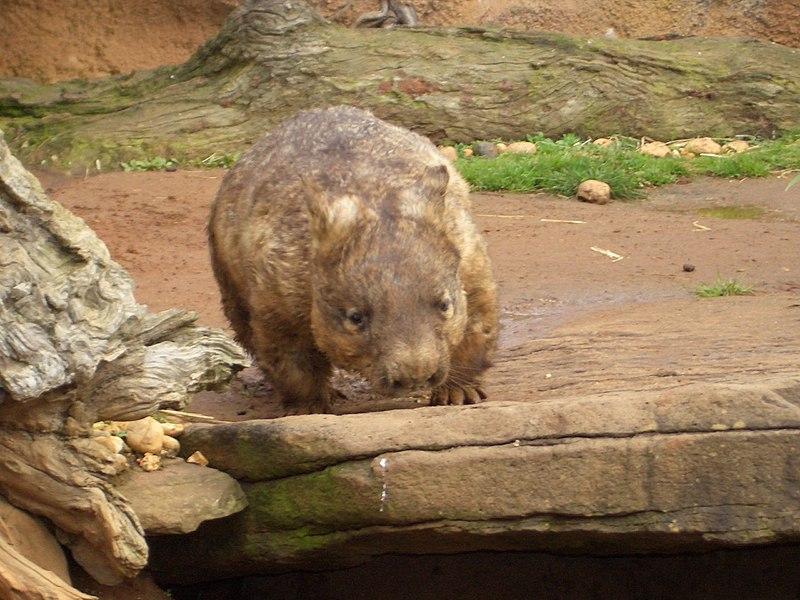 Image:Wombat0698.jpg