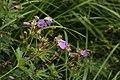 Wood Cranesbill - Geranium silvaticum (44345024221).jpg