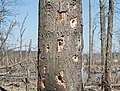 Woodpecker holes (63640).jpg