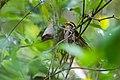Worm-eating warbler (34097751561).jpg
