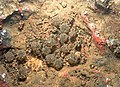 Xanthophryne tigerina egg clutch.jpg