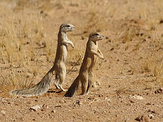 Flock (birds) - Image: Xerus inauris