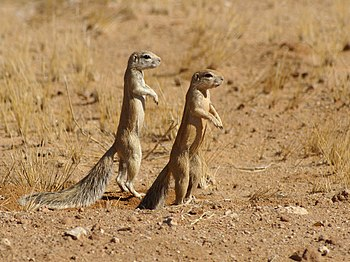 Cape Ground Squirrels close to Solitaire in th...
