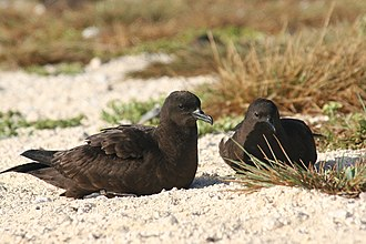 Procellariiformes - Christmas shearwaters are one of the surface-nesting tropical Procellariiformes.