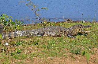 Yacare caiman species of reptile