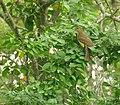 Yellow-bellied Greenbul (Chlorocichla flaviventris) (46701352702).jpg