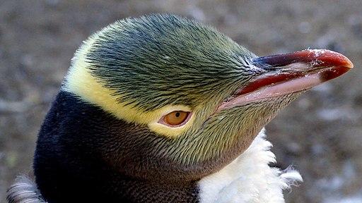 Yellow-eyed penguin. (27046372062)