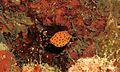 Yellow Boxfish (Ostracion cubicus) juvenile (6065480120).jpg