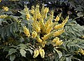 Yellow Mahonia (5208879121).jpg