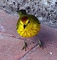 Yellow Warbler (Dendroica petechia) -Santa Cruz -Puerto Ayorto 4c.jpg