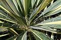 Yucca filamentosa Color Guard 3zz.jpg