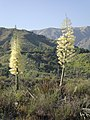 Yucca in Bloom at Big Tujunga Canyon in Sunland.JPG