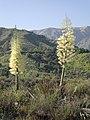 Yucca in Bloom at Big Tujunga Canyon in Sunland.JPG