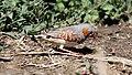 Zebra Finch (Taeniopygia guttata) (30616202374).jpg