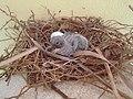 Zenaida macroura (egg and chick).jpg