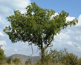 Ziziphus mucronata - Image: Ziziphus mucronata, habitus, Phalandingwe