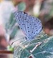 Zizula hylax – Tiny Grass Blue 05.jpg
