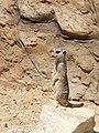 Zoo Ohrada, surikata 01.jpg