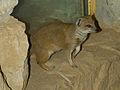 Zoo Praha, Cynictis penicillata, 5.jpg