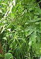 Zypergras (Cyperus alternifolius).jpg