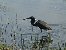 """a bird in lake alice March 5th 2008"".jpg"
