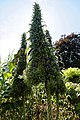 'Echium pininana' Victorian garden Quex House Birchington Kent England.jpg