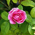 'Rosa Gertrude Jekyll' at Goodnestone Park Kent England 2.jpg