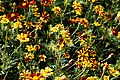 'Tagetes patula' French marigold Tall Scotch Prize Capel Manor Gardens Enfield London England 2.jpg