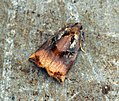 (0977) Large Fruit-tree Tortrix (Archips podana) (7501332200).jpg